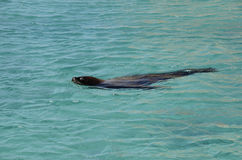 Sea lion swimming in Carribbean sea. Close up of Sea lion swimming in Carribbean sea Royalty Free Stock Photos