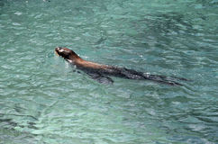 Sea lion swimming in Carribbean sea. Close up of Sea lion swimming in Carribbean sea Royalty Free Stock Image