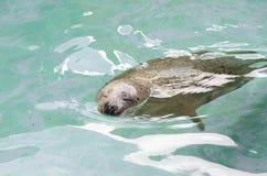 Sea lion Royalty Free Stock Image
