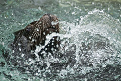 Sea lion swimming and playing in the water Royalty Free Stock Photo