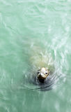 Sea lion. A sea lion is swimming in the sea Royalty Free Stock Photography