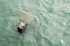 Sea lion. A sea lion is swimming in the sea Stock Photo