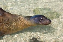Sea lion swimming Stock Photo