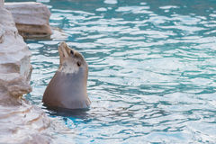 Sea lion swimming and sunbathe in the pool Stock Images