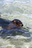 Sea lion swimming in tropical ocean lagoon Royalty Free Stock Photos