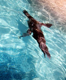 Sea lion swimming underwater. Angled view of sea lion swimming underwater in captivity Royalty Free Stock Image