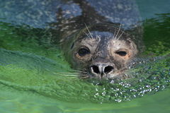 Sea Lion Swimming In The Water. A sea lion swimming in the clear green water Royalty Free Stock Photo