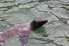 Sea lion swimming Royalty Free Stock Images
