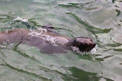 Sea lion swimming Stock Photos