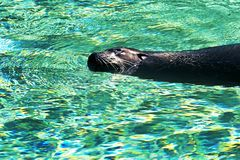 Sea-lion swims in turquoise water Stock Image