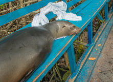 Sea Lion. A Sea Lion, takes a nap on a bench at Santa Cruz Island, Galapagos Stock Photos