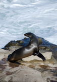 Sea lion takes a sun bath near La Jolla Cove. San Diego Stock Photography