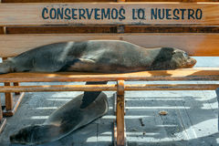 Sea lion taking a nap on a bench, Galapagos Royalty Free Stock Image