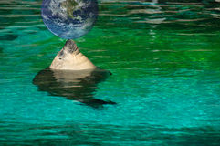 Sea lion taking a sunbath. In green water with globe Stock Images