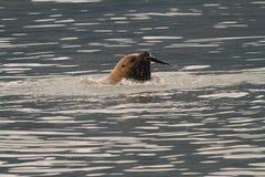 Sea Lion Tearing Apart Salmon. A massive sea lion rips apart a salmon during spawning season Stock Photo