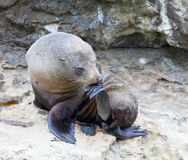 Sea Lion Thinker. A Hooker's Seal Lion resting on a rock on the New Zealand coast Royalty Free Stock Photos
