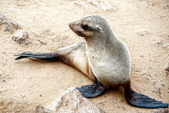 Sea lion to Cape Cross, Namibia, Africa Royalty Free Stock Image
