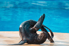 Sea lion to tumble Royalty Free Stock Image