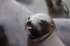 Sea lion tongue. A young female California sea lion sticks out her tongue Royalty Free Stock Images