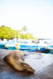 Sea lion in town Royalty Free Stock Images