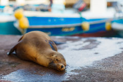 Sea lion in town Royalty Free Stock Image