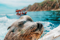 Sea Lion. On the transom of fishing boat Royalty Free Stock Photography