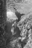 Sea lion underwater in black and white Royalty Free Stock Photos