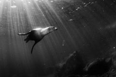 Sea lion underwater in black and white Stock Images