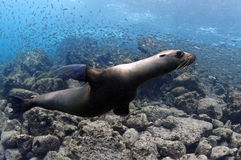 Sea lion underwater, Galapagos Islands. Galapagos is one of the most beautiful places to snorkel and dive wth diverse and abundant marine life. Sea lions often Stock Image