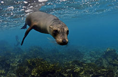 Sea lion underwater, Galapagos Islands. Galapagos is one of the most beautiful places to snorkel and dive wth diverse and abundant marine life. Sea lions often Royalty Free Stock Photo