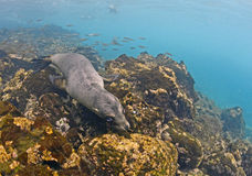 Sea lion underwater, Galapagos Islands. Galapagos is one of the most beautiful places to snorkel and dive wth diverse and abundant marine life. Sea lions often Royalty Free Stock Images