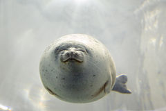 Sea lion underwater. Harbour seal underwater. Front view Royalty Free Stock Images