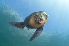 Free Sea Lion Underwater Looking At You Royalty Free Stock Image - 50121326