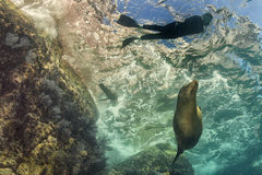 Sea lion underwater looking at snorkelist Royalty Free Stock Image