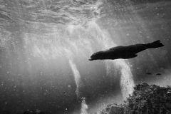 Sea lion underwater looking at you in black and white Stock Photos