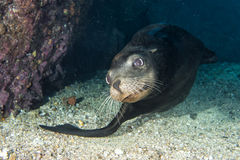 Sea lion underwater looking at you Royalty Free Stock Images