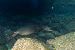 Sea lion underwater looking at you Stock Image