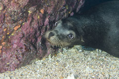 Sea lion underwater looking at you Stock Photography