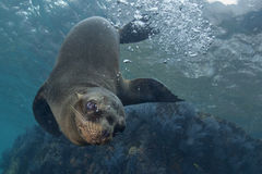 Sea lion underwater looking at you Stock Photos