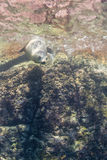 Sea lion underwater looking at you Royalty Free Stock Image