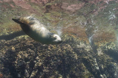 Sea lion underwater looking at you Royalty Free Stock Photo