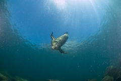 Sea lion underwater looking at you Royalty Free Stock Photography