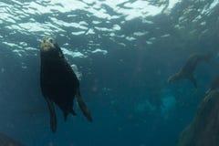 Sea lion underwater Stock Images