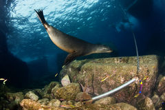 Sea lion underwater. Sea lion seal coming to you underwater Stock Photos