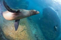 Sea lion underwater Royalty Free Stock Image