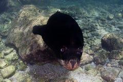 Sea lion underwater Stock Photography