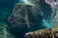 Sea lion underwater Royalty Free Stock Photos