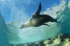 Sea lion underwater. Sea lion seal coming to you underwater Stock Image