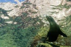 Sea lion underwater Stock Photos