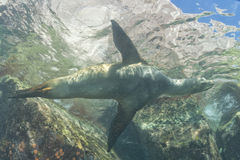 Sea lion underwater Royalty Free Stock Images